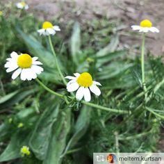 Tıbbi bitkilerin bazıları çelikle üretiliyor. Aspartamın doğalı stevia bitkisi örnek bahçesi. Matricaria Chamomilla / Tıbbi Papatya, her papatya tıbbi papatya değildir, sarı kısmı tümsek olmalıdır.pic.twitter.com/fV2IsdeKHw