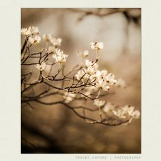 Flower Photography  Dogwood Photograph Nature by TraceyCapone, $30.00