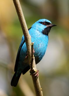 Saí-azul, Blue Dacnis (Dacnis cayana)   by claudio.marcio2