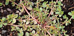Le Pourpier, connu également sous le nom de Portulaca oleracea, est considéré comme une mauvaise herbe commune par beaucoup et il peut même pousser dans votre jardin en ce moment sans que vous l'ayez voulu. Il a tout d'abord été cultivé en Inde et en Perse et se propage au reste du monde. Certains cultivateurs …