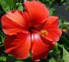 national flowers of world countries haiti hibiscus