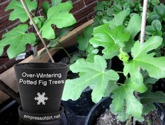 How to overwinter a fig tree and waking it up in the spring at http://empressofdirt.net/what-is-overwintering/