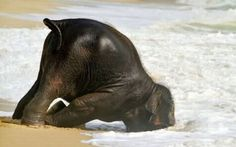 i love how clumsy baby elephants are <3