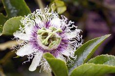 Como plantar maracujá. O maracujá é uma planta tropical que se desenvolve muito bem em climas quentes, acima de 25ºC mas não tolera ventos frios ou geadas. Num país como o Brasil esta planta não apresenta grandes pormenores...