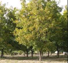 Pecan trees around Brute Boyd's one room cabin Home Garden Plants, Home And Garden, One Room Cabins, Pecan Wood, Tree Seeds, Planting Seeds, The Ranch, Best Memories, Yard Landscaping