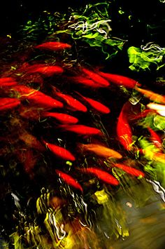 Koi Pond ~ the power of one color Japanese Goldfish, Goldfish Pond, Japanese Koi, Japanese Dragon, Pond Plants, Aquatic Plants, Pond Habitat, Ponds Backyard, Garden Ponds