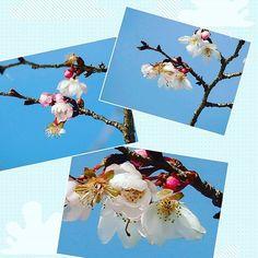 【hikaru4720】さんのInstagramをピンしています。 《実光院の不断桜です🌸小さなお花です🌸  #京都 #実光院 #大原 #実光院 #桜 #ふだんざくら #Kyoto #temple #oohara #ohara #cherry_blossom #little_flowers》