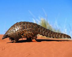 One of the coolest mammals: The Pangolin…