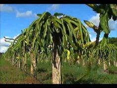 Record Rural - Pitaya: Fruta capaz de transformar glicose do organismo e...