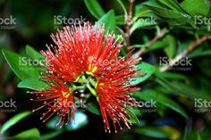 The New Zealand Rata Tree in blossom, in the backgroud a very soft. Native Plants, Image Now, New Zealand, Vines, Flora, National Parks, Southern, Royalty Free Stock Photos, Photography