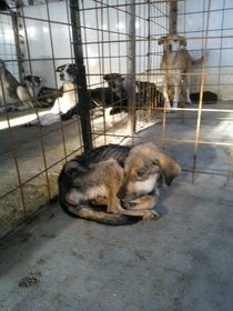 ESDAW - Letter to Romania 1 - Horrible conditions at municipal dog enclosures in Romania, Teleorman, Rosiorii De Vede.