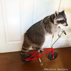 I like to show off my bicycle riding  skills!  Climbing trees and cycling  builds up the musclesin my legs.  I am a very fit and healthy raccoon! ❤️Melanie #raccoon #raccoonlover #petraccoon #raccoonsofinstagram #mapache #wasbeer #waschbar #eHot #ratonlaveur #petsofinstagram #pets #animals #animalsofinstagram #cycling #bicycle #cyclist #healthy #theellenshow #IgAnimal_Snaps