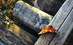 butterfly by Rdzeniuch.deviantart.com on @DeviantArt