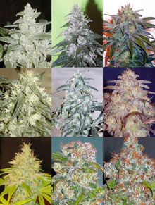 cannabis-strains.jpg
