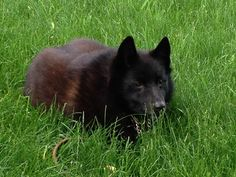 "Meet ""Dutch"" our Schipperke"