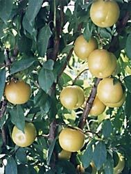 Flavor Queen Pluot Tree--Ships About Four Feet Tall, 12 Inch Container Fruit Trees, Trees To Plant, Mulberry Tree, Plum Tree, Banana Ice Cream, Tropical Fruits, Harvest Time, Delicious Fruit, Fruits And Veggies