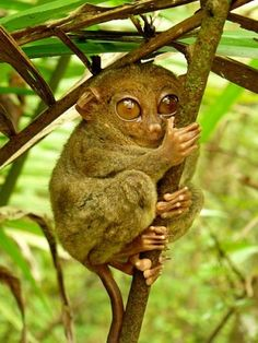Philippine Tarsier – Tarsius syrichta or more popularly known as the Philippine Tarsier is one of the tourist destinations when you visit Bohol. However, did you know that Philippine Tarsiers are not only locally found in Bohol? These tiny primates are also found in Samar, Leyte and in Mindanao. As you already know, Tarsiers is considered as one of the world's tiniest primates.
