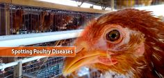 Chickens are low maintenance birds. But it doesn't mean that they are not susceptible to sickness. The video below shows us how to spot poultry diseases Poultry Diseases, Chicken, Cubs
