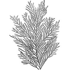 Gorgonia Verticellata Clipart ❤ liked on Polyvore