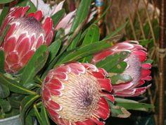 fleurs vues sur le marché (Protées royales)