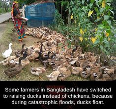 Chickens or ducks...
