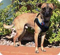 Gilbert, AZ - Pug/Terrier (Unknown Type, Small) Mix. Meet Moe, a puppy for adoption. http://www.adoptapet.com/pet/15023333-gilbert-arizona-pug-mix