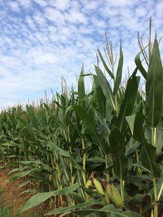 Corn 2014