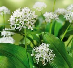 Ramsons (Allium ursinum) — also known as buckrams, wild garlic, broad-leaved garlic, wood garlic, bear leek, and bear's garlic — is a wild relative of chives native to Europe and Asia.[1] The Latin name is due to the brown bear's taste for the bulbs and its habit of digging up the ground to get at them; they are also a favorite of wild boar.