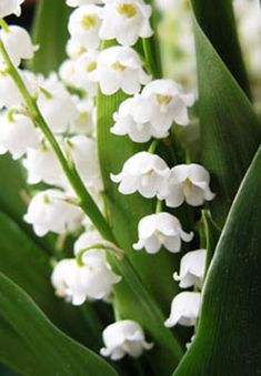 Lily of the Valley-Recipe to approximate scent:a base made with blooms infused in vodka would be lovely-but if no access to real muguet is possible,I wonder if hyacinth,linden,&orange blossom(a tiny bit)-might not help?