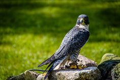 Peregrine Falcon at the Schlitz Audubon Nature Center