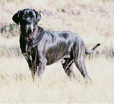 O fila brasileiro  é uma raça de cão  de  grande porte desenvolvida no Brasil .  São usados frequentemente como cães de guarda e cão boiade...