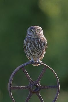 Little Owl (Athene noctua) by phil winter on Flickr.