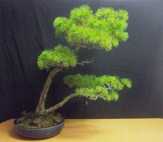 Pinus pentaphylla-2