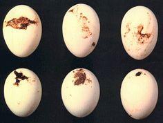 Sex vita skitiga ägg.