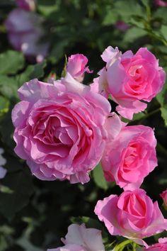'Pink Of Princess' | Hybrid Tea Rose. Production in 2008 Japan Kawamoto Junko production