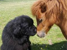 A Newfie and a miniature horse.
