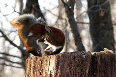 Squirrels' fight