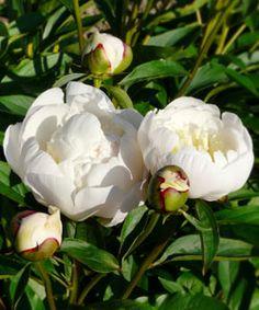 Paeonia lactiflora 'Immaculée' - Edel-Pfingstrose