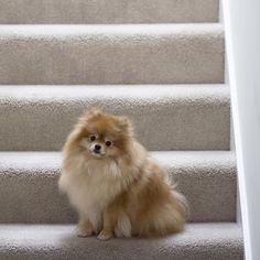My new day job #model #poser #worldscutestdog #pomeranian #pompup_feature