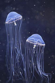 Photo jellyfish by c