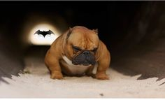 This is Batman... an American Bully. I swear he is so gorgeous  Found him floating around IG.