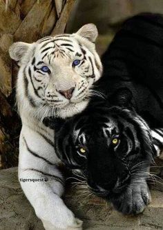 Gorgeous Tigers - two Rare Species - White Tiger and Black Tiger (recessive trait causing melanism: resulting in all black pigmentation of skin and fur)