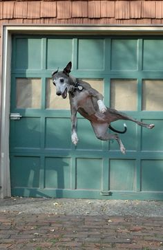 Italian Greyhounds are beautiful, elegant...and goofy!  Sometimes they just make you laugh with their antics.
