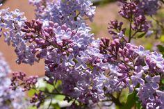 Šeřík je velmi oblíbený jarní keř a pěstovat se dá vmnoha kultivarech. Na sirup potřebujete ten světlounce fialový nebo bílý sjednoduchými květy. Ten je totiž zaručeně jedlý a vlimonádách chutná …