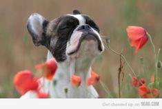 French bulldog pup!