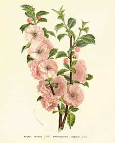 Cherry Blossoms art flower art print Vintage botanical art print nature art print poster antique wall art flowers old prints Garden Wall Art