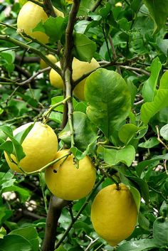 lemons at the orchard - Riomaggiore, Liguria, Italy