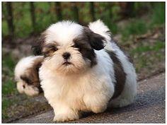 shih-tzu puppies