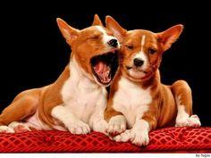 10 Best Basenjis images in 2012   Basenji puppy, Dogs, Doggies