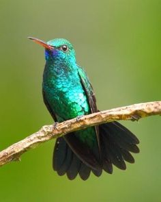 Blue-chinned Sapphire -from Colombia, south and east to the Guianas, Trinidad, Peru & Brazil